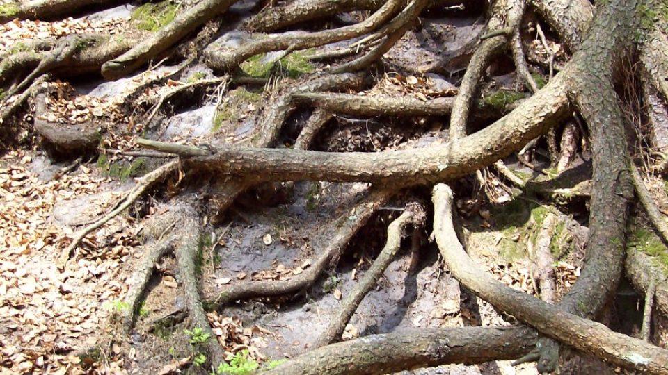 Kořeny stromů