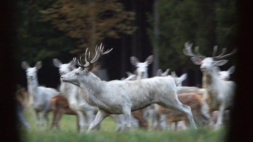 Obora Žleby chová vzácné bílé jeleny