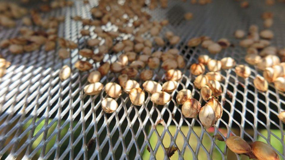 Usušené pecky Mšenské Jánovky slouží k výrobě masážních polštářků.