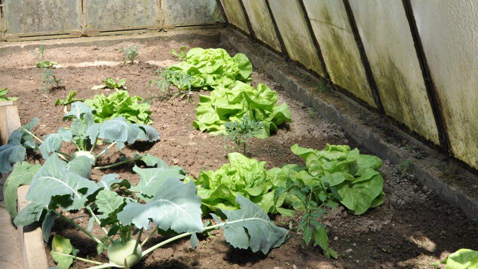 Hlávkový salát byl přímo z domácího skleníku