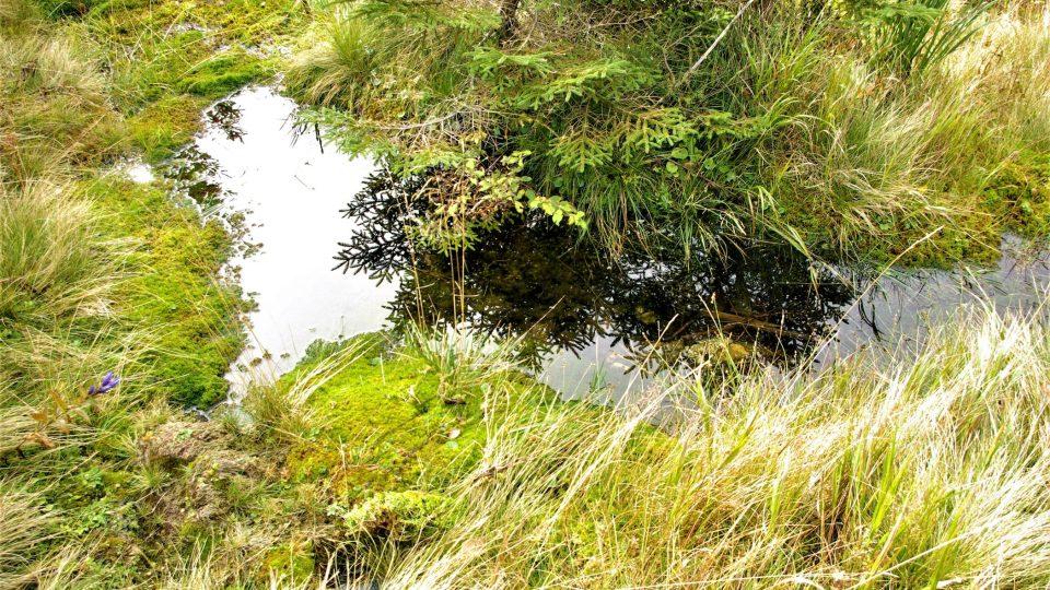 Jedna z mechových tůněk v tzv. krkonošské zahrádce, kterou napájejí  drobné pramínky pro Kotelský potok