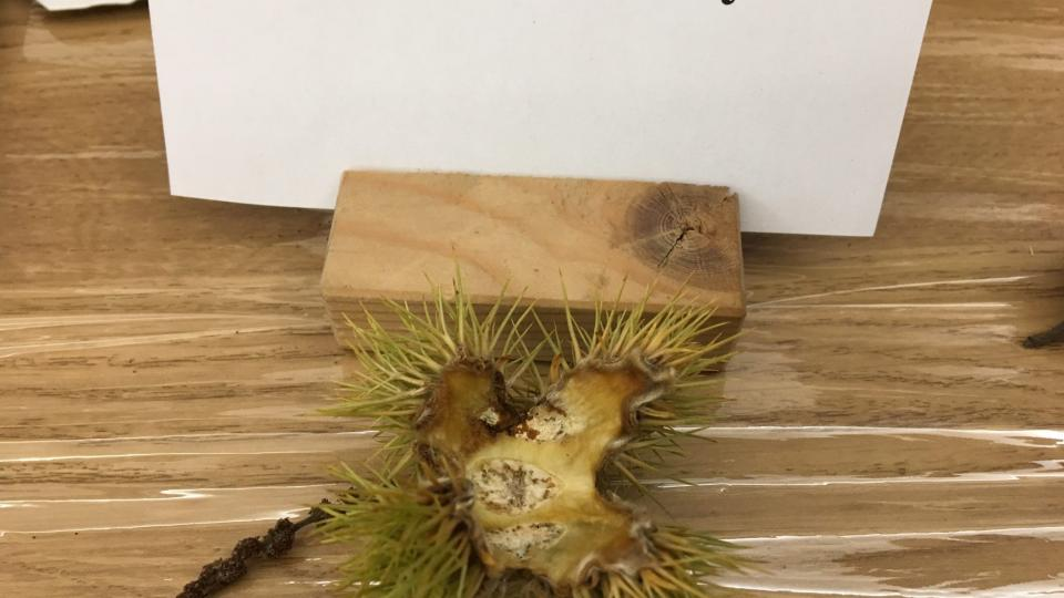 Plody jsou po dvou až třech v pichlavém obalu, který puká čtyřmi švy