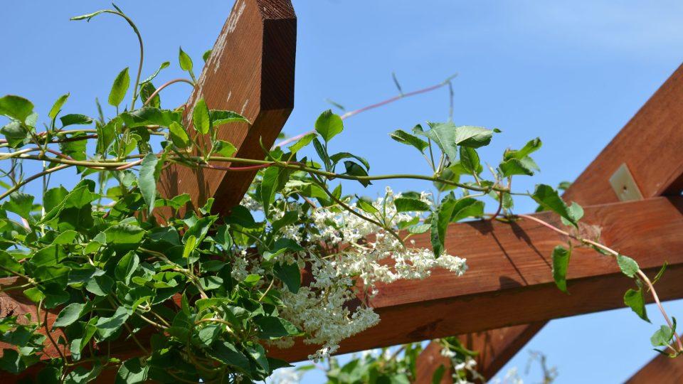 Opletka kvete drobnými bílými kvítky