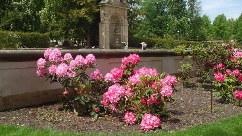 Rododendrony v zahradách Pražského hradu