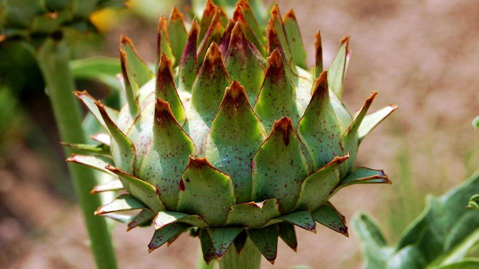 Květenství či poupě artyčoku ke sklizni
