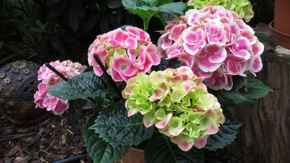 Hortenzie se v létě prodávají v květináčích pro potěchu oka