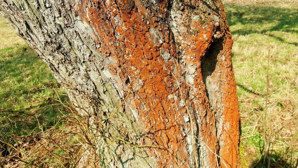 Cihlově červený povlak na kmeni jabloně způsobila řasa Trentepohlia umbrina