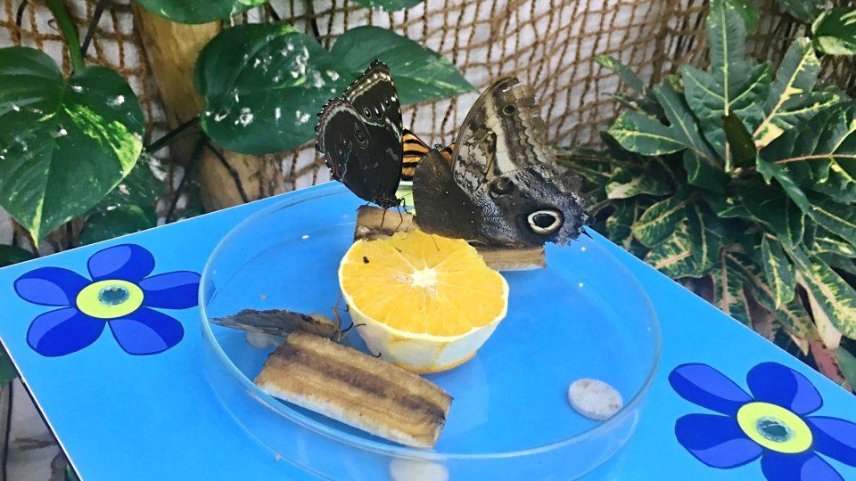 Kromě ovoce si motýli pochutnávají i na cukrové vodě.JPG