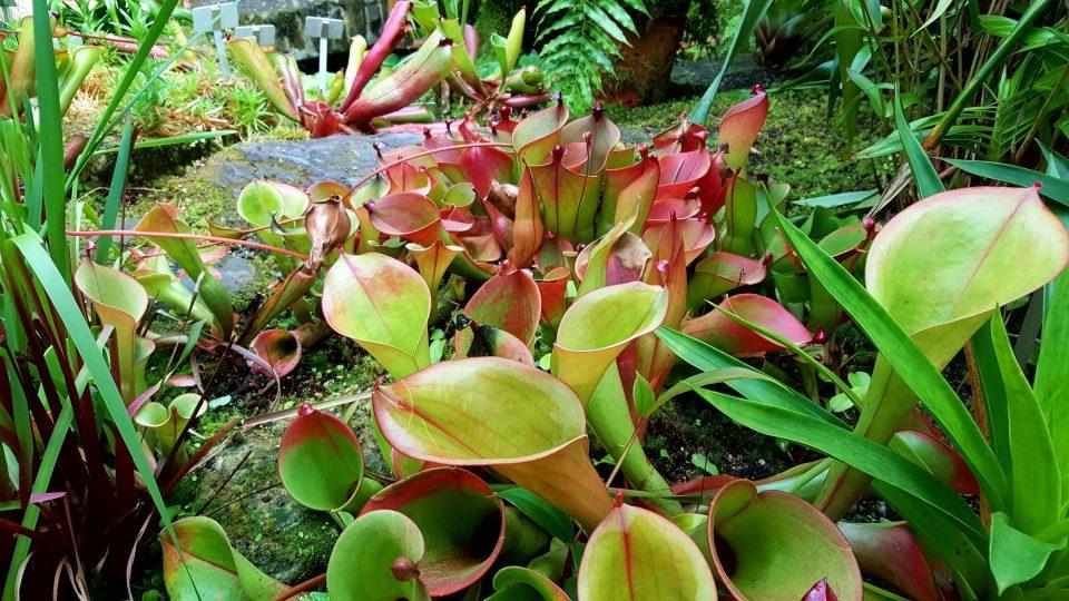Masožravé rostliny v horské části skleníku