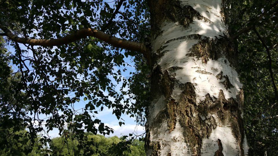 Listy a kůra břízy bělokoré barví, kůra na hnědé odstíny