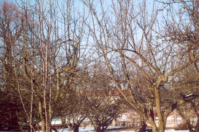 Ovocný strom před řezem | foto: Stanislav Peleška